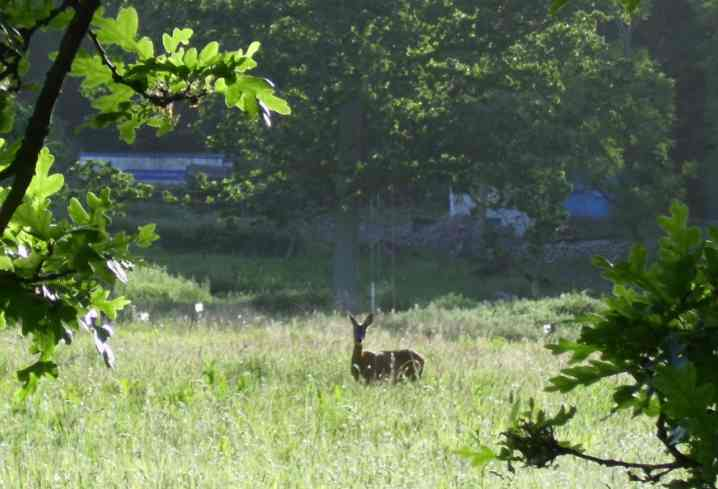 Roe deer at Ellis Hill, Arborfield. Many deer can be seen in the Coombes